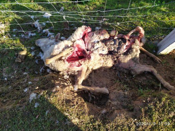 ÚLTIMA HORA: Mais ovelhas mortas em Tomar